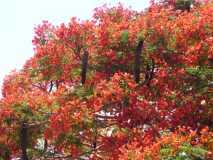 Beautiful flambouyant tree